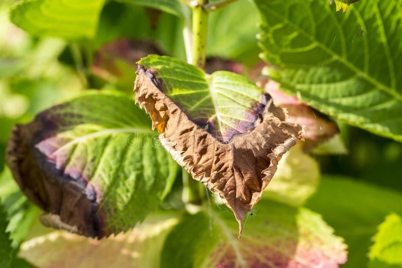 Vanliga hortensian lämnar sjukdomen fryst arkivbilder