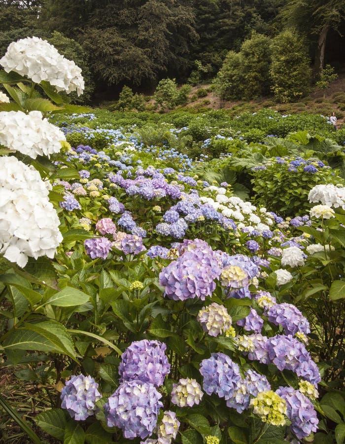 Vanliga hortensior på Trebah trädgårdar, Cornwall royaltyfria foton