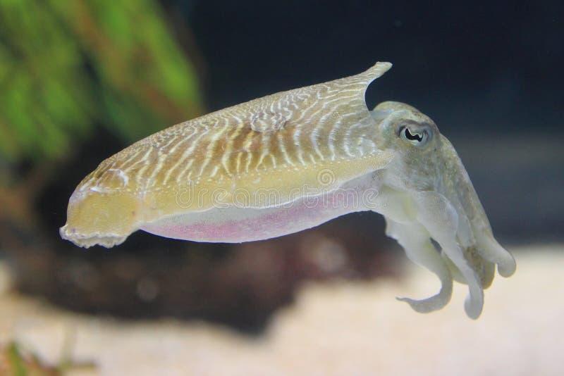 Vanligt bläckfisk royaltyfria foton