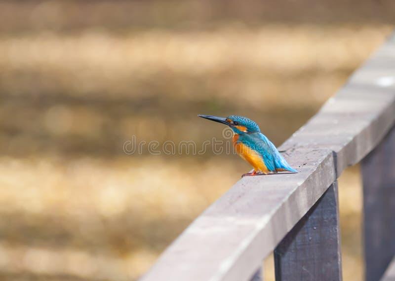 Vanligt Kingfisher (Alcedoatthis) fotografering för bildbyråer