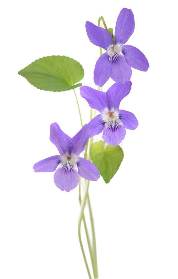 Vanligt violett växt royaltyfri bild
