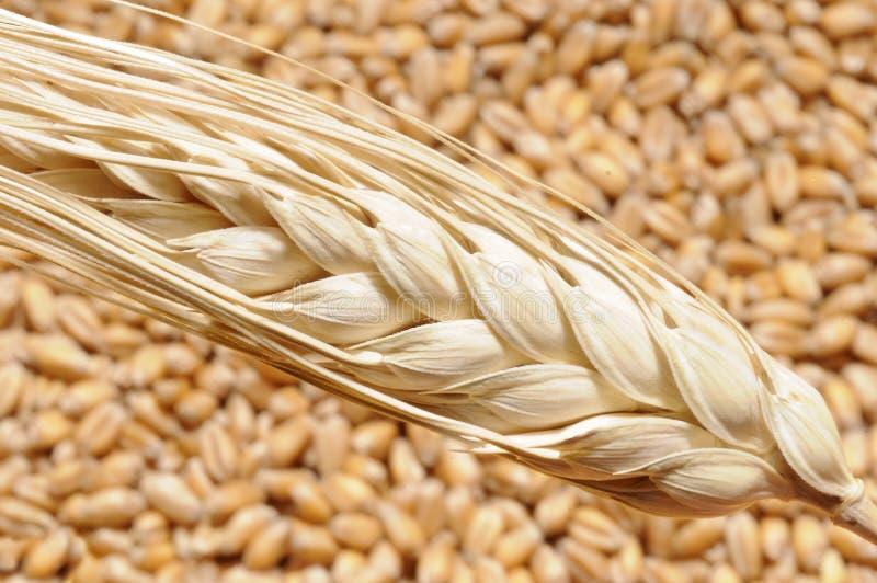 Vapor del trigo en granos imagenes de archivo