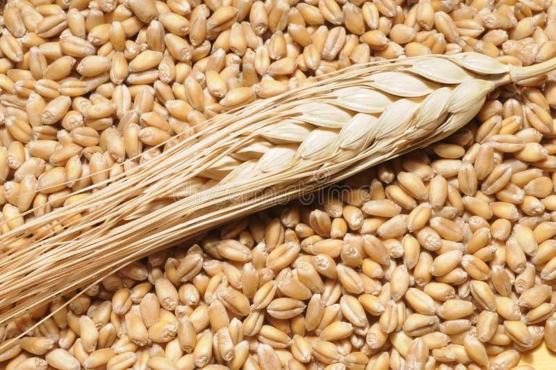 Vapore del frumento sui granuli fotografie stock