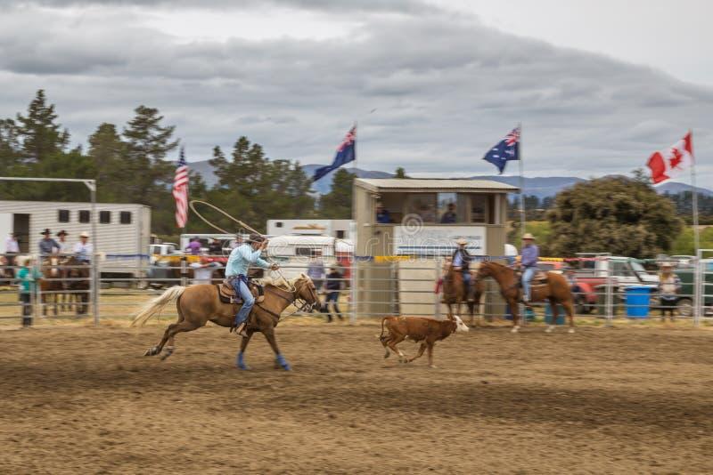 Vaqueiro em um cavalo que trava uma vitela na competição da mostra do rodeio fotos de stock royalty free