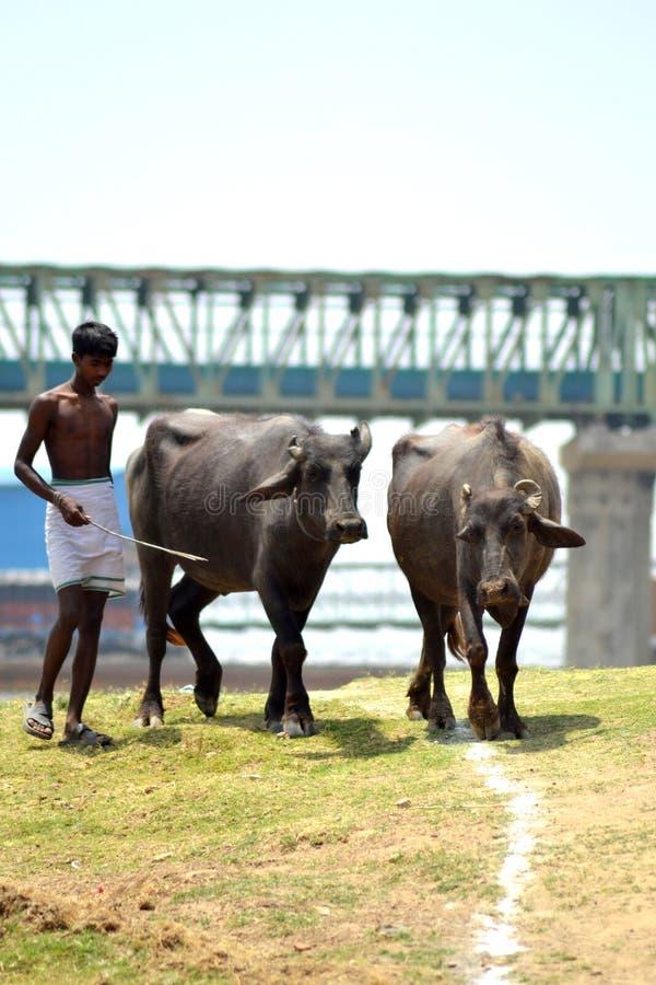 Vaqueiro indiano foto de stock