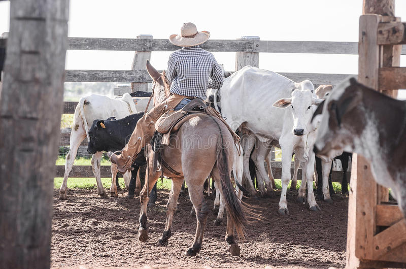 Vaqueiro que dirige o gado na cerca do ` s da exploração agrícola foto de stock