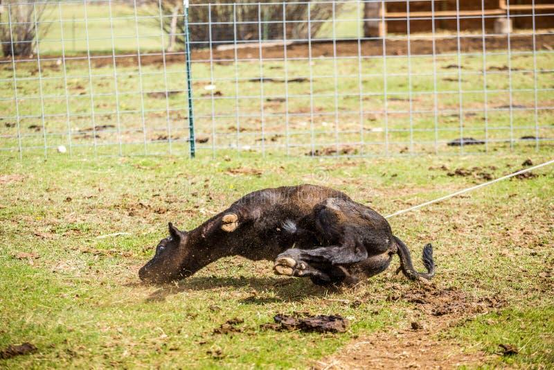 Vaqueiros que travam vitelas recentemente carregadas fotos de stock royalty free