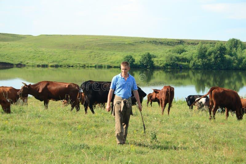 Vaquero con las vacas foto de archivo