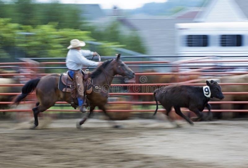 Vaquero en el rodeo que persigue la toma panorámica del buey y la falta de definición de movimiento imagenes de archivo