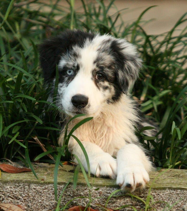 Varón australiano del perrito del pastor fotografía de archivo libre de regalías