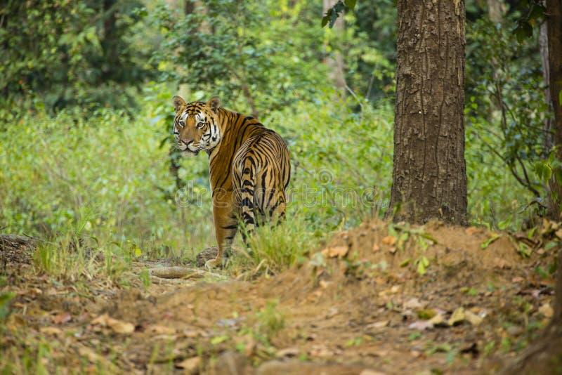 Varón Bengala Tiger Looking sobre hombro en selva foto de archivo