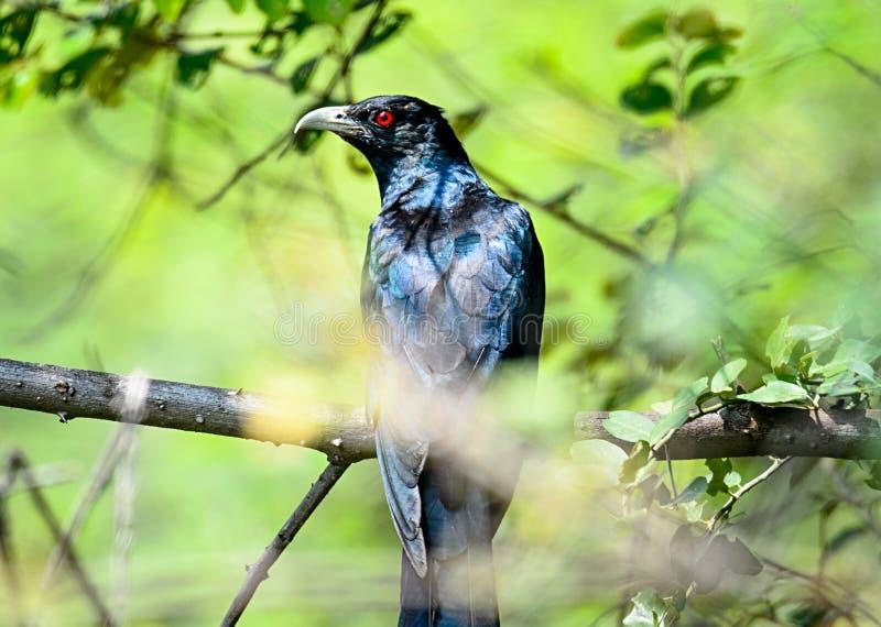 Varón común del pájaro de Koel foto de archivo libre de regalías
