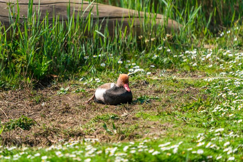 Varón de cresta roja del pato de mar - rufina de Netta fotografía de archivo libre de regalías