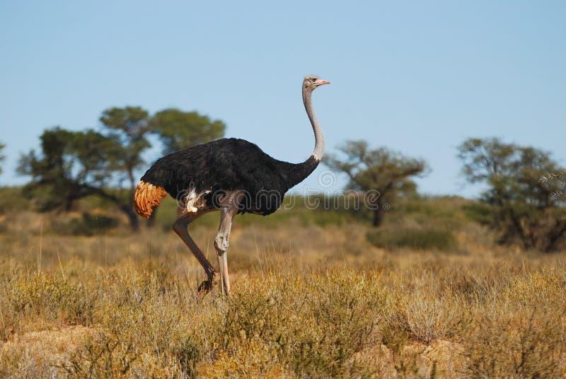 Varón de la avestruz (camelus del Struthio) fotos de archivo libres de regalías