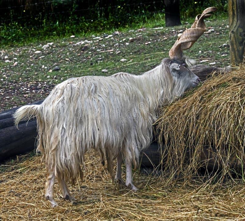 Varón de la cabra nacional fotografía de archivo libre de regalías