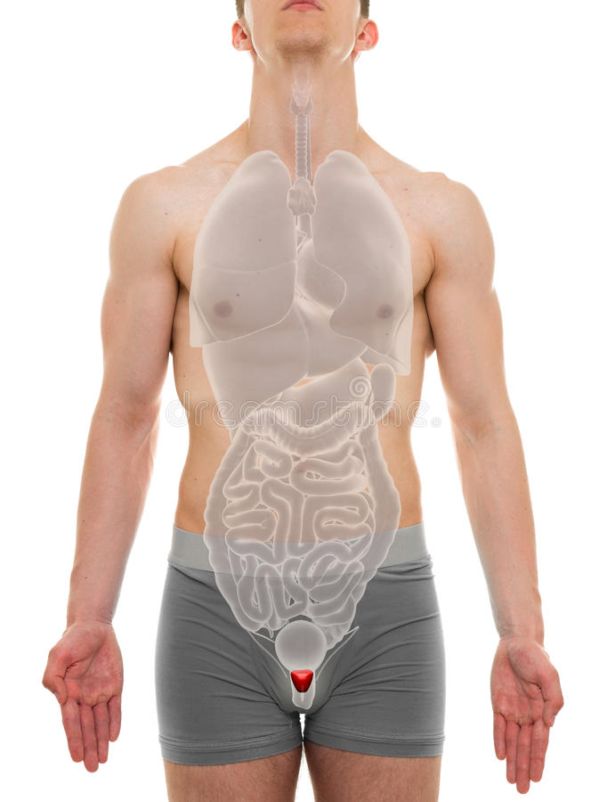 Varón de la próstata - anatomía de los órganos internos - ejemplo 3D foto de archivo libre de regalías
