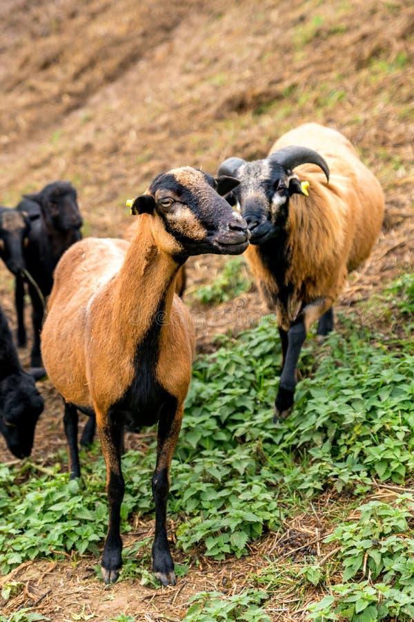 Varón de las ovejas del Camerún y soporte femenino de lado a lado en el pasto imágenes de archivo libres de regalías