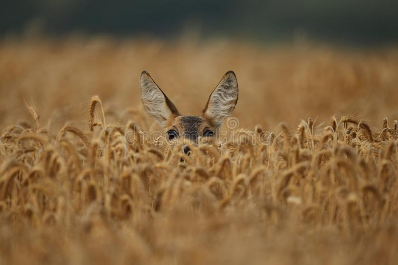 Varón de los ciervos de huevas en el prado verde mágico imagen de archivo libre de regalías