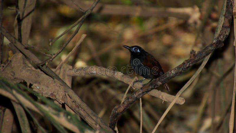 Varón del Antbird del ` s de Zeledon en una rama imágenes de archivo libres de regalías