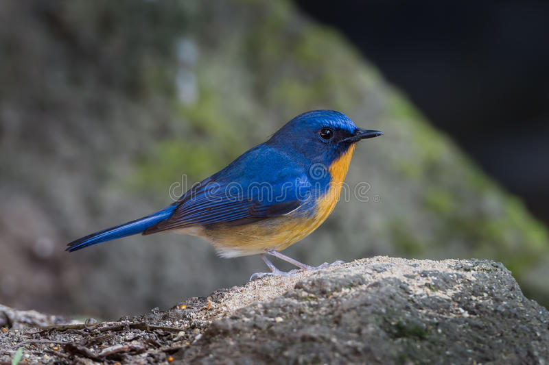 Varón del cazamoscas precioso del azul de la colina imágenes de archivo libres de regalías