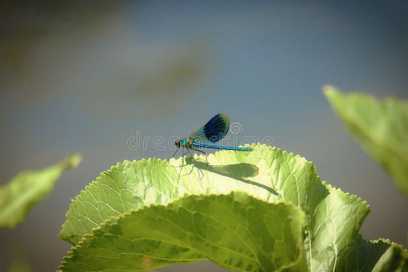 Varón del damselfly de los splendens del Demoiselle o de Calopteryx foto de archivo