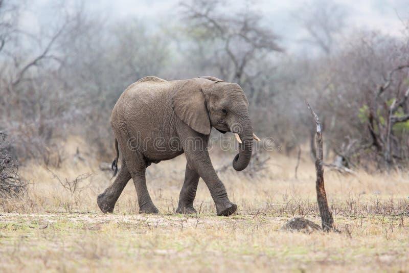 Varón del elefante que camina en el varón nacional de Kruger ParkCheetah en Masai Mara foto de archivo