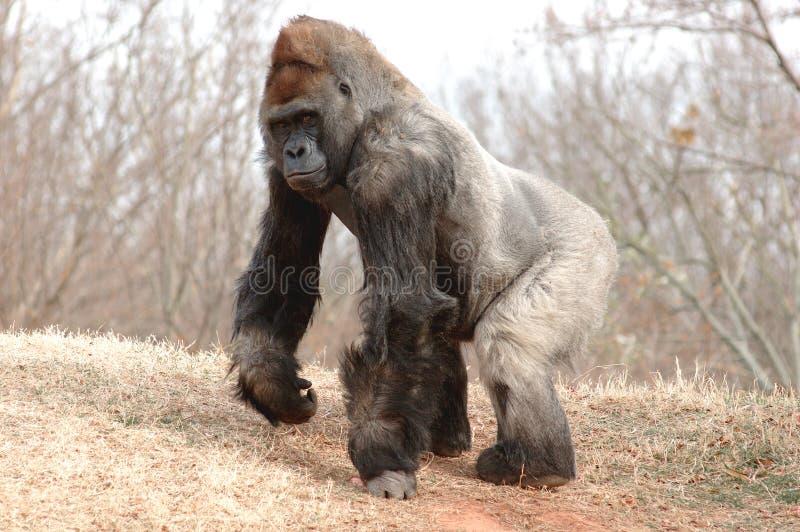 Varón del gorila fotografía de archivo