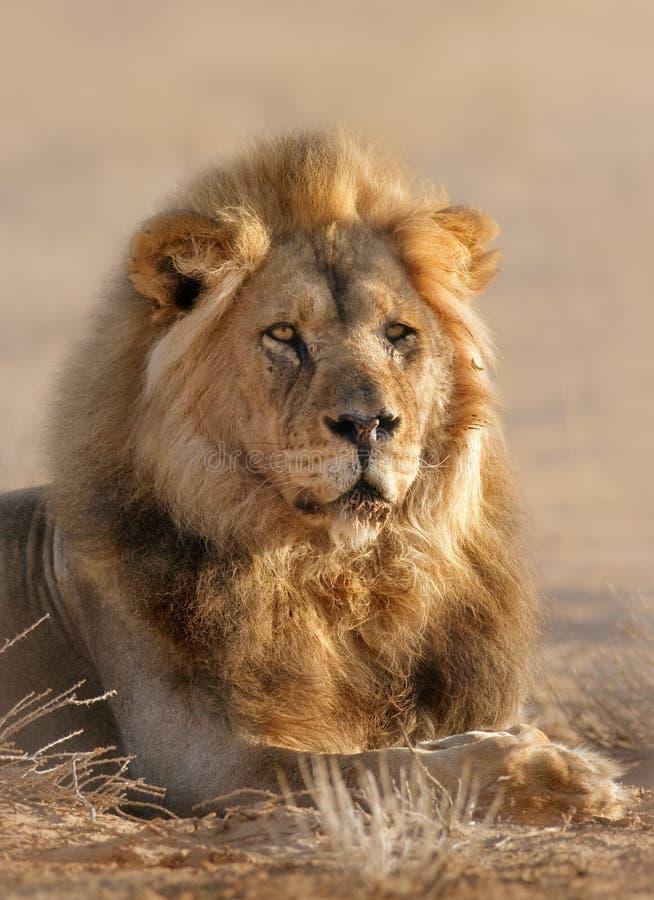 Varón del león foto de archivo libre de regalías