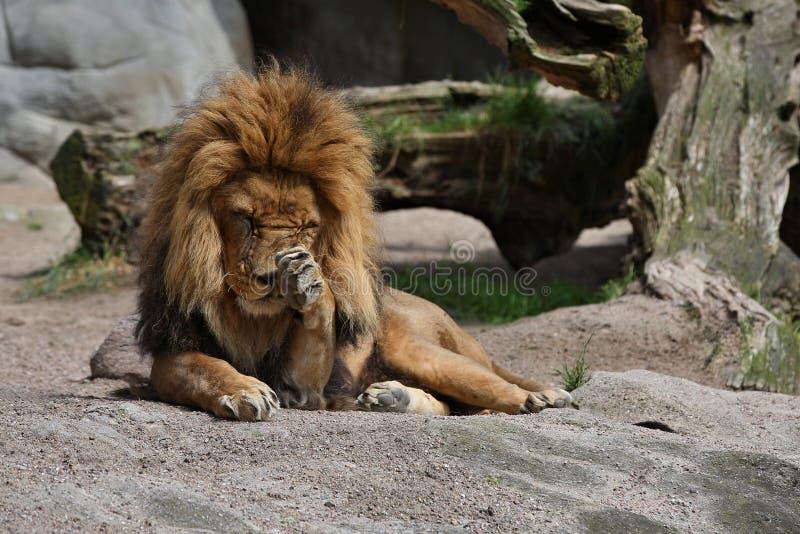 Varón del león en el lugar rocoso en el cautiverio fotos de archivo