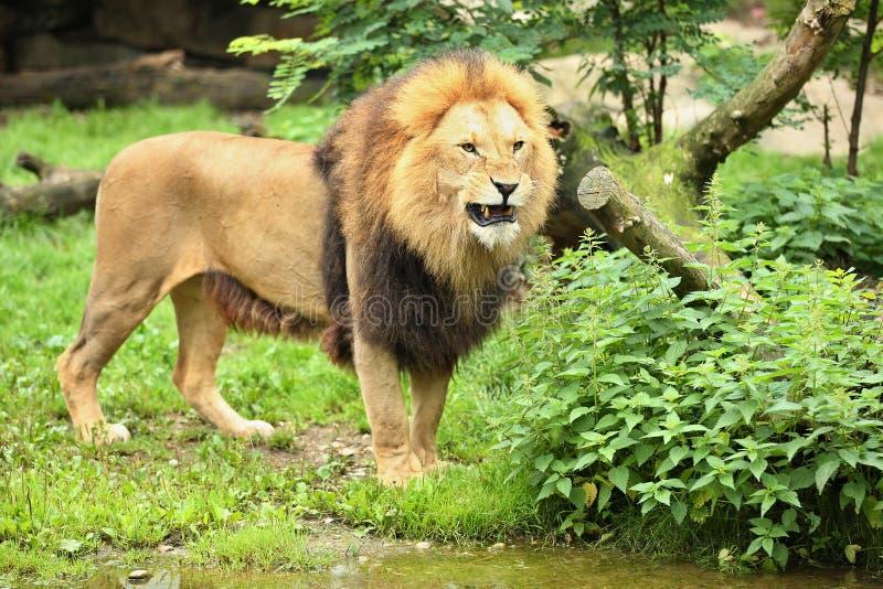 Varón del león en el lugar rocoso en el cautiverio fotos de archivo libres de regalías
