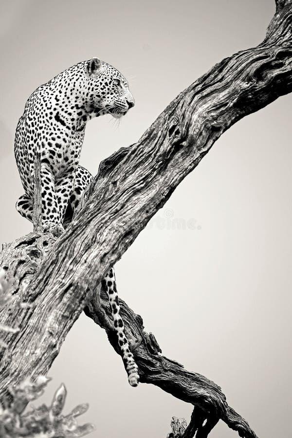 Varón del leopardo en blanco y negro foto de archivo
