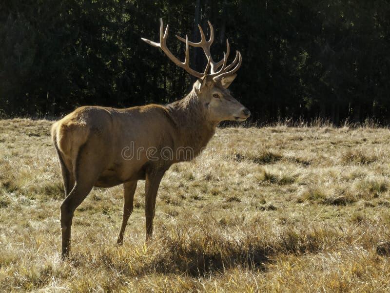 Varón dominante salvaje, adulto de los ciervos comunes del elaphus del Cervus fotografía de archivo libre de regalías