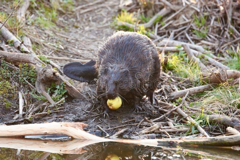 Varón europeo del castor que alimenta en la tarde imágenes de archivo libres de regalías