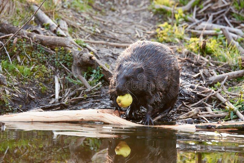 Varón europeo del castor que alimenta en la tarde imagen de archivo libre de regalías