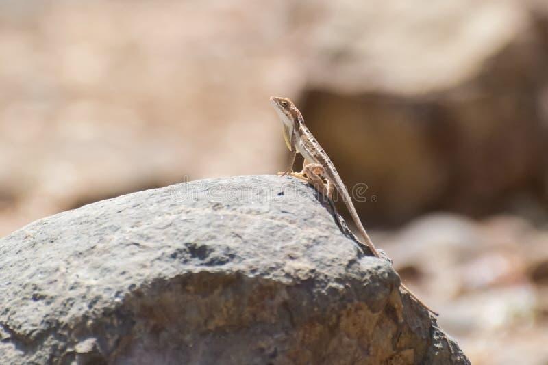 varón Fan-throated del lagarto que se encarama en una roca foto de archivo libre de regalías