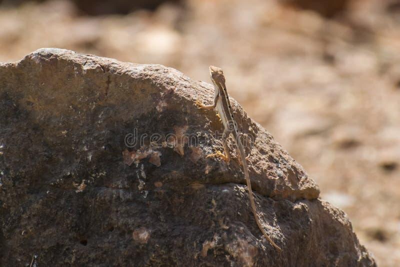 varón Fan-throated del lagarto que se encarama en una roca fotos de archivo
