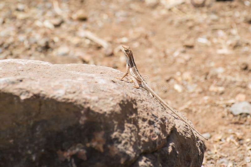 varón Fan-throated del lagarto que se encarama en una roca foto de archivo
