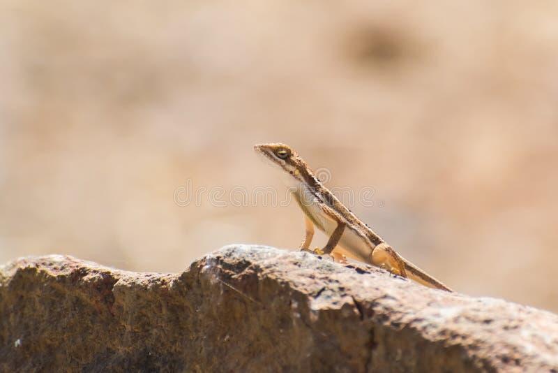 varón Fan-throated del lagarto que se encarama en una roca imagen de archivo