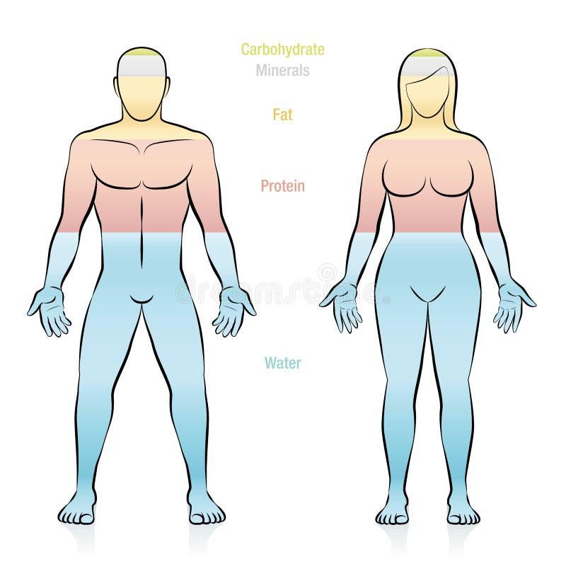 Varón gordo de la hembra del cuerpo humano de los minerales del agua de la proteína ilustración del vector
