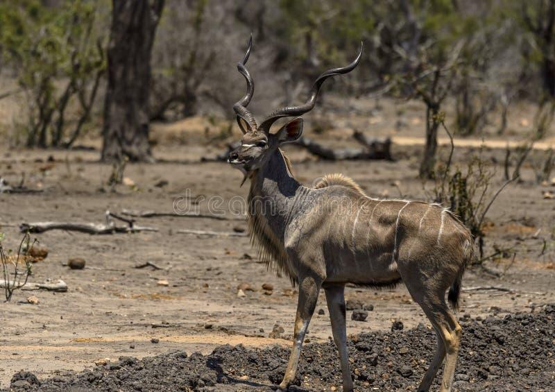 Varón grande Kudu, strepsiceros del Tragelaphus, con maravilloso torcido foto de archivo