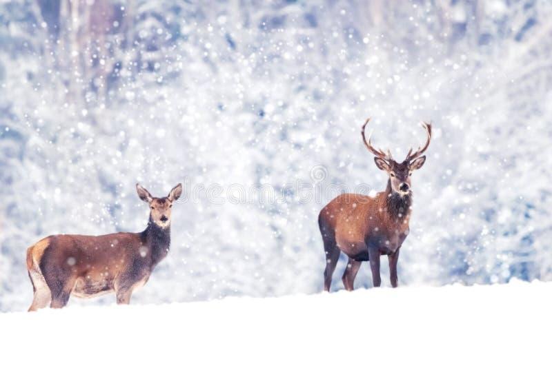 Varón hermoso y ciervos nobles femeninos en la imagen artística blanca nevosa del invierno de la Navidad del bosque País de las m imagen de archivo