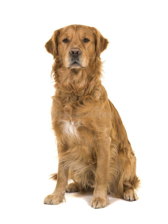 Varón masculino oscuro del perro del golden retriever que se sienta mirando el camer foto de archivo libre de regalías