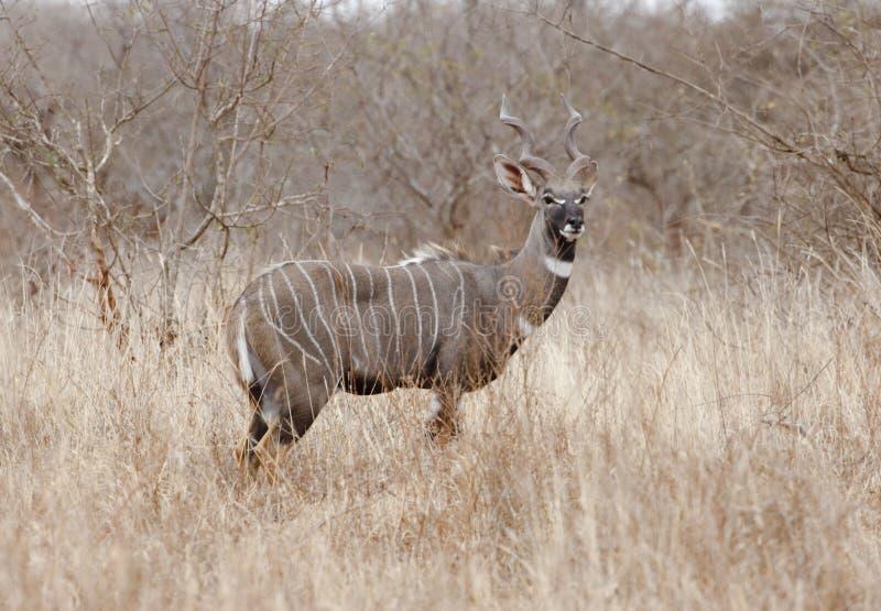 Varón poco kudu en sabana del Kenyan. imágenes de archivo libres de regalías