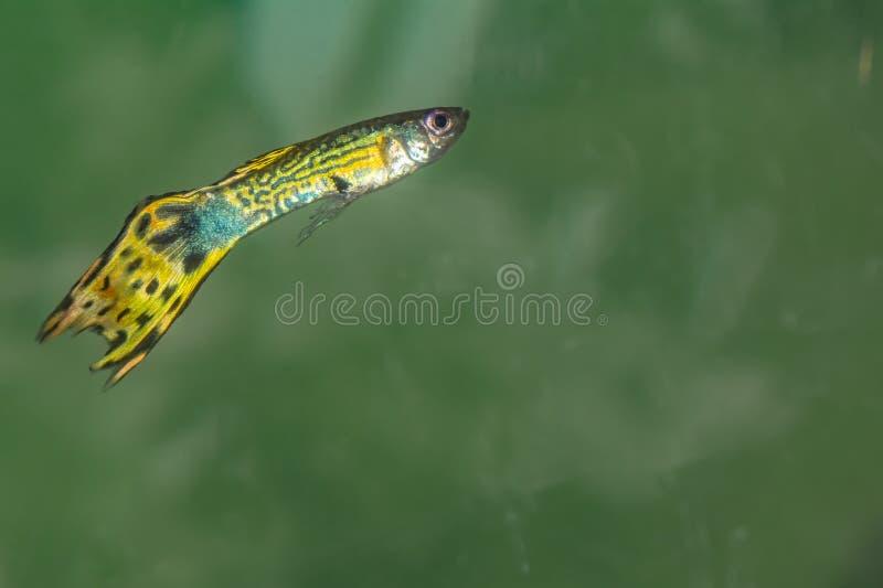 Varón verde amarillento de los pescados del Guppy fotos de archivo