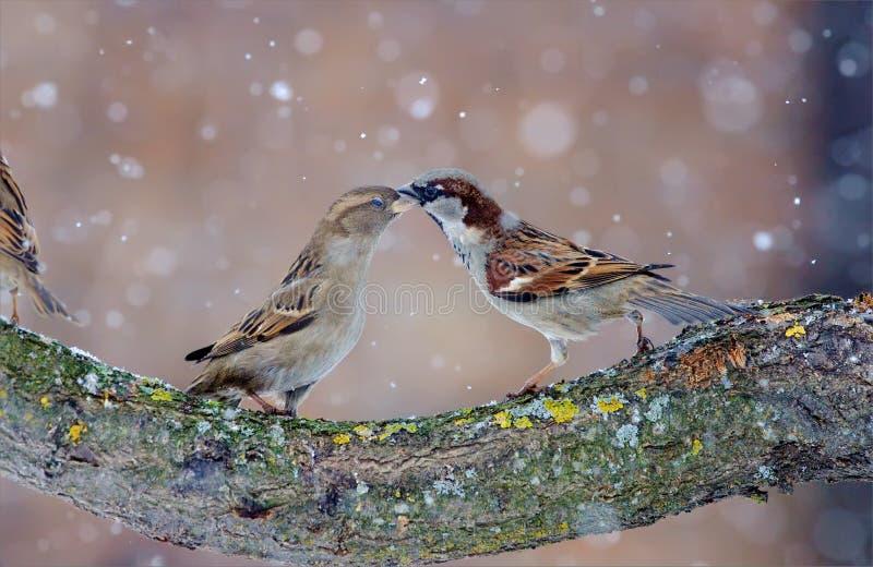 Varón y baile femenino de los gorriones de casa en tormenta de la nieve fotos de archivo