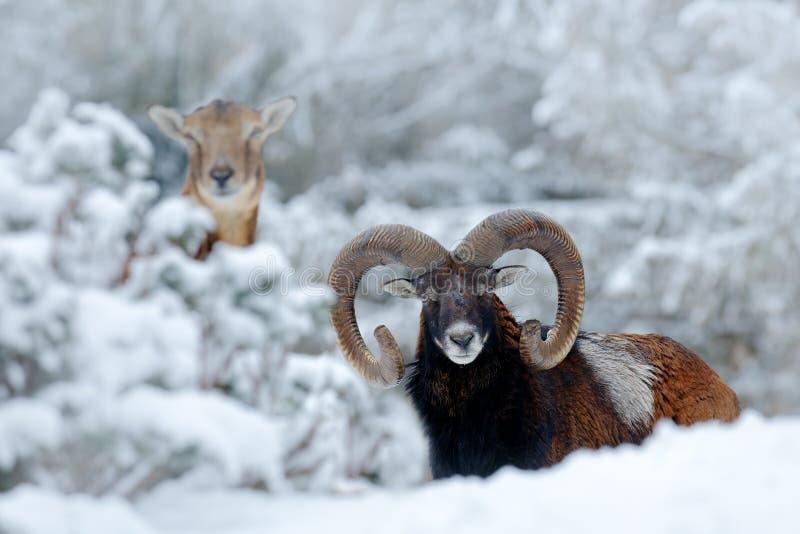 Varón y hembra de Mouflon, orientalis del Ovis, escena del invierno con la nieve en el bosque, animal de cuernos en el hábitat de fotos de archivo