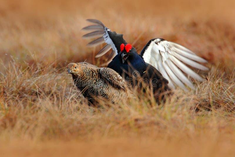 Varón y hembra del urogallo negro que se acoplan en el prado Urogallo agradable del pájaro de Lekking, tetrix del Tetrao, en la r foto de archivo libre de regalías