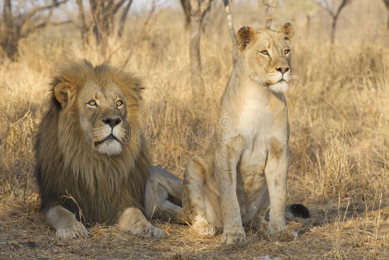 Varón y león africano femenino joven, Suráfrica fotografía de archivo