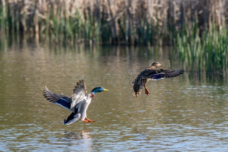 Varón y pato femenino del pato silvestre que entran en la tierra en el agua del lago fotos de archivo
