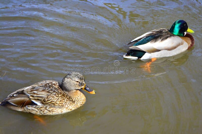 Var?n y nataci?n femenina del pato del pato silvestre en una charca con agua verde mientras que busca la comida fotos de archivo